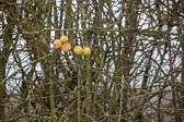 Oxford_Canal_[South]_Apples-001